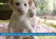 Sư tử con lông trắng cực hiếm tại Hàn Quốc